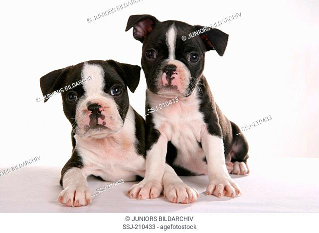 Boston Terrier. Two puppies next to each other. Studio picture against a white background. Germany