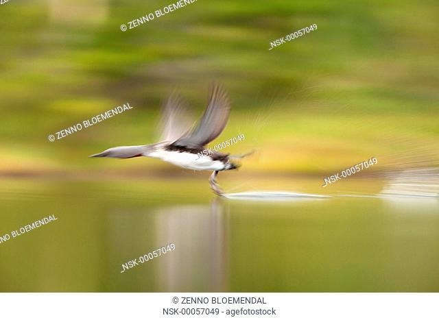 Red-throated Loon (Gavia stellata) taking off with slow shutterspeed, Norway, Nord Trondelag, Lierne