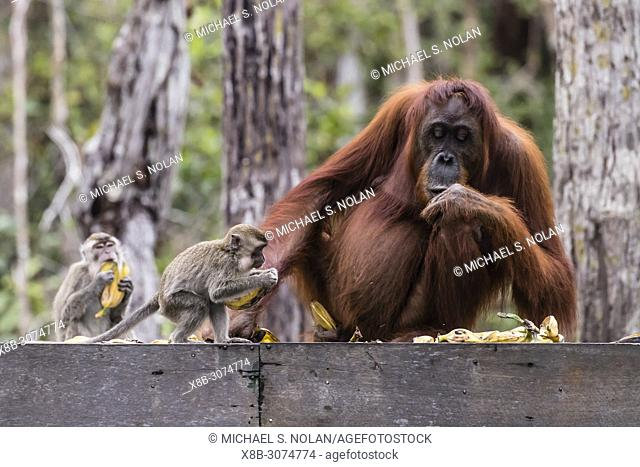 Long-tailed macaques, Macaca fascicularis, with orangutan, Pongo pygmaeus, Borneo, Indonesia