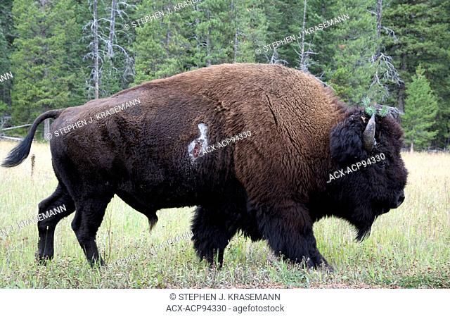 Bull Bison (Bison bison) with fighting gash/wound on side, Yellowstone National Park, WY, USA