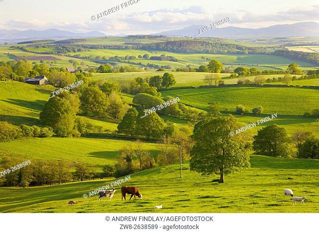 Eden Valley. Cattle & sheep grazing. Rural evening scene. Ainstable, Cumbria, England, United Kingdom