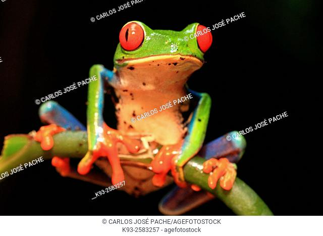 Rana verde de Ojos rojos (Agalychnis callidryas). Parque Nacional Volcán Arenal, Costa Rica