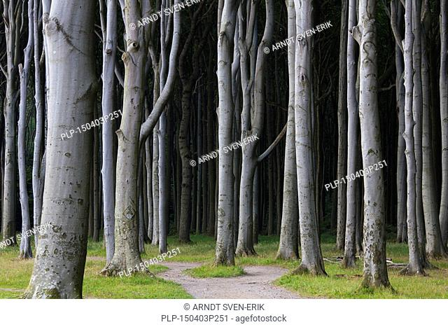 Beech trees, shaped by strong sea winds, at Ghost Wood / Gespensterwald along the Baltic Sea beach at Nienhagen, Mecklenburg-Vorpommern, Germany