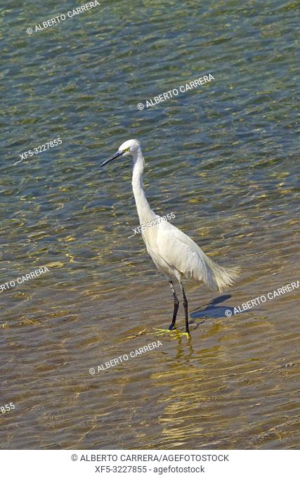 Little Egret, Egretta garzetta, Wetlands, Royal Bardia National Park, Bardiya National Park, Nepal, Asia