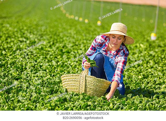 Farmer, Spinach, Agricultural field, Funes, Navarre, Spain