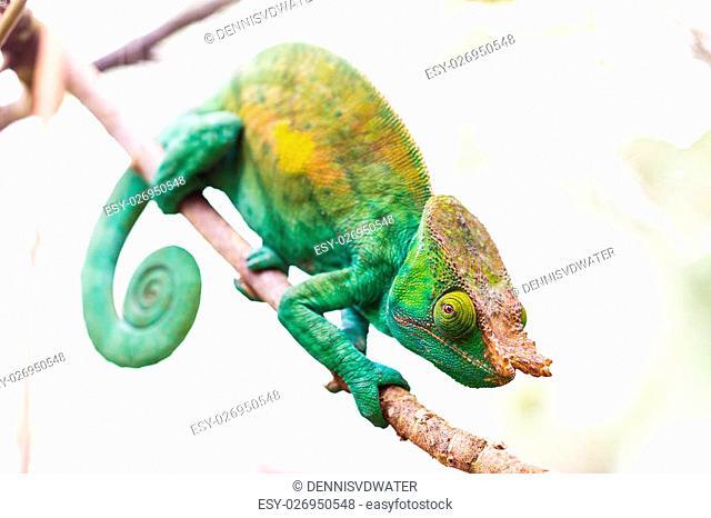 Beautiful camouflaged Parsons chameleon (Calumma parsonii) in Madagascar
