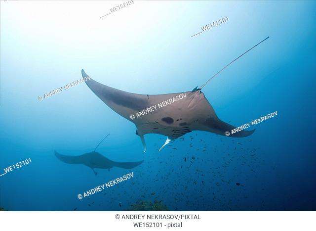 Two Giant oceanic manta ray (Manta birostris) swims in blue water, Indian Ocean, Maldive