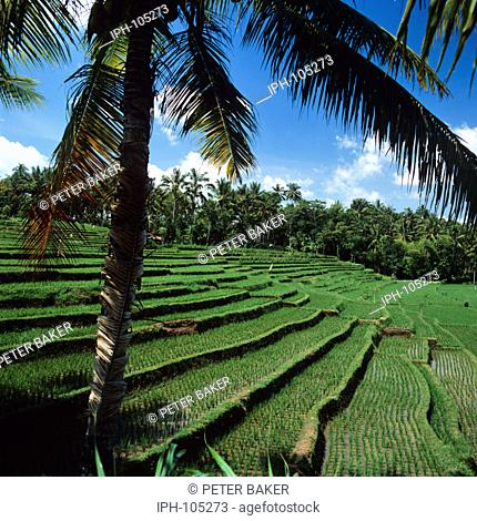 Bali - Palm trees and rice terraces