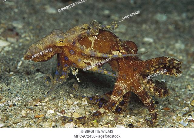 Blue-ringed Octopus Hapalochlaena sp, male and female mating, note male inserting his reproductive tentacle into the female's siphon, New Guinea