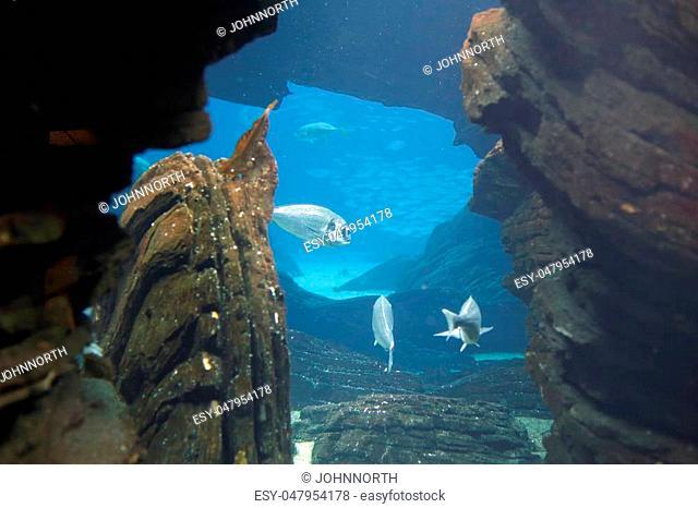 Aquarium gilthead bream wideview