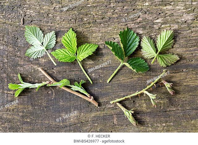 shrubby blackberry (Rubus fruticosus), comparision between raspberry and blackberry branches, Germany