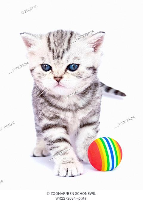 Young standing silver tabby cat with colorful ball