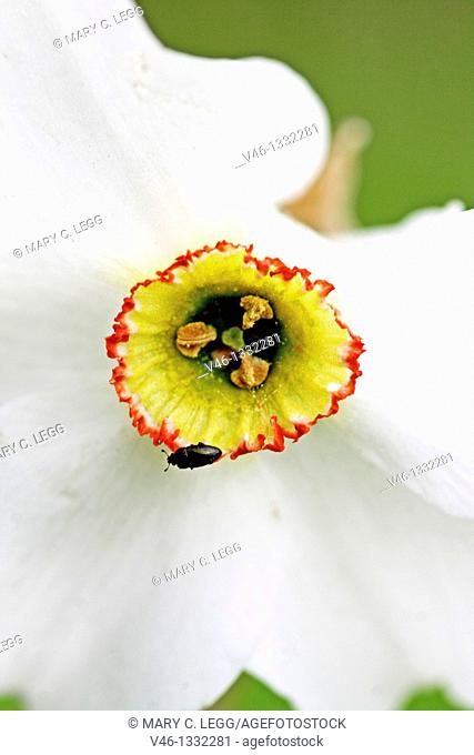 Small dark beetle on narcissus corona  Minute leaf beetle clings to the red edge of a narcissus corona  Narcissus against green background  Narcissus with a...