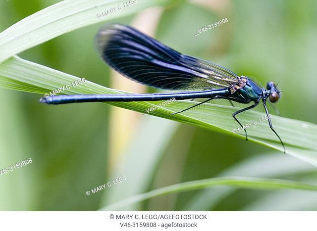 Male Banded Demoiselle, Calopteryx splendens