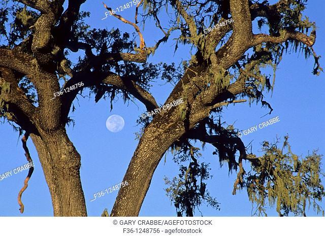 Moon and oak tree, Paso Robles, San Luis Obispo County, California