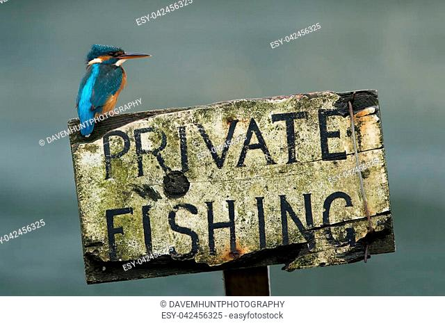Kingfisher perched on private fishing sign