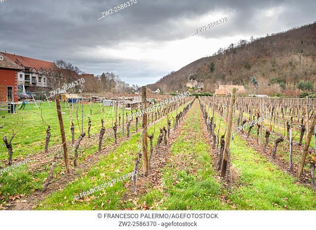 Vineyard citizen in autumn. Kaysersberg, Alsace. France
