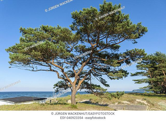 Pine tree at the beach, Baabe, Ruegen, Mecklenburg-Vorpommern, Deutschland, Europe