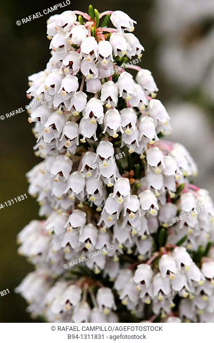 Tree heat flowers. Erica arborea. Family Ericaceae. Torrelles de Llobregat. Barcelona. Catalonia. Spain