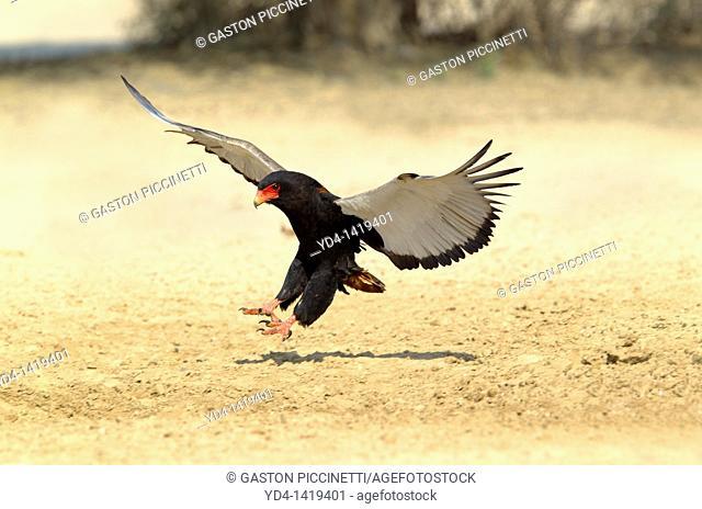 Bateleur Terathopius ecaudatus, landing, Kgalagadi Transfrontier Park, Kalahari desert, South Africa