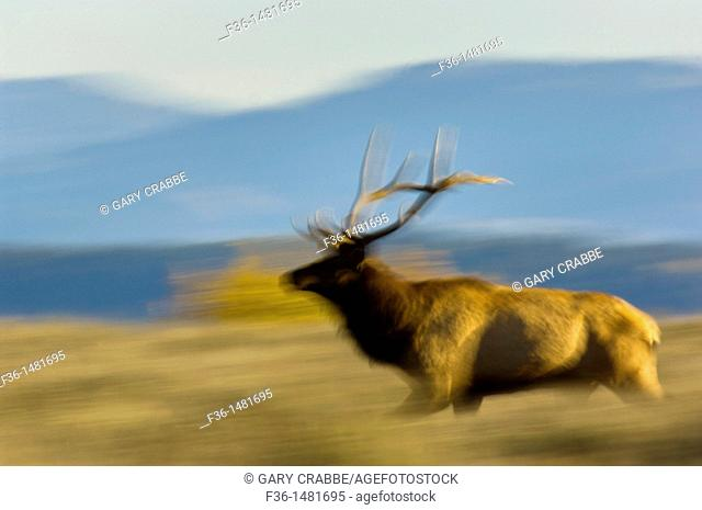 Bull Elk running through grass field, Grand Teton National Park, Wyoming