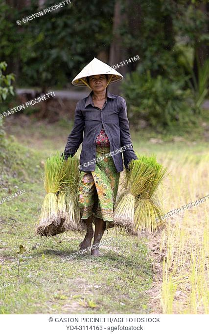 Woman transporting small rice plants for later planting, Angkor, Siem Reap Province, Kingdon of Cambodia
