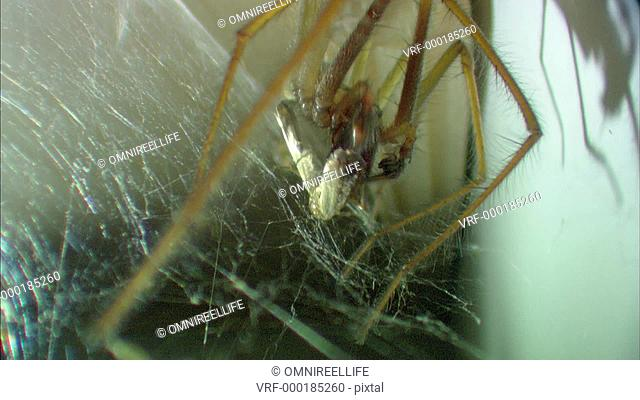 Close-up of Common House Spider on web with prey