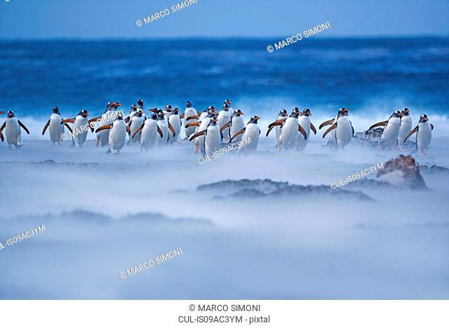 Gentoo Penguins (Pygoscelis papua papua) walking on the beach, Falkland Islands