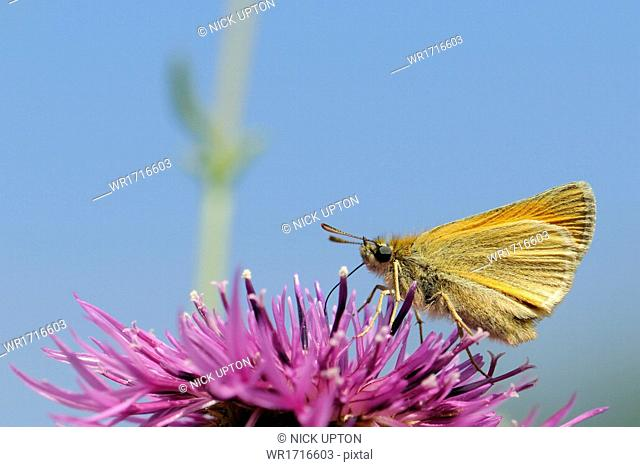 Small skipper (Thymelicus sylvestris) nectaring on greater knapweed flower (Centaurea scabiosa) in a chalk grassland meadow, Wiltshire, England, United Kingdom