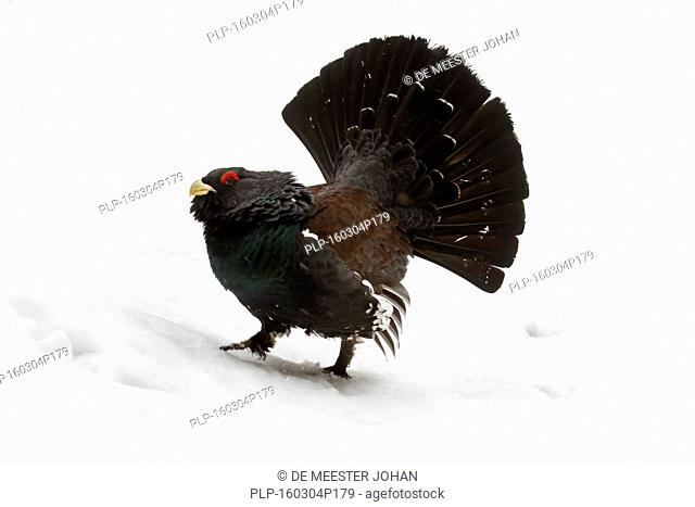 Western capercaillie / wood grouse / heather cock (Tetrao urogallus) male displaying tail during courting season in the snow in winter