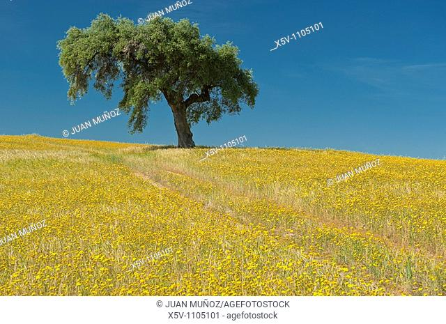 Lone Holm Oak (Quercus ilex) in a field of yellow flowers, La Serena, Badajoz province, Extremadura, Spain
