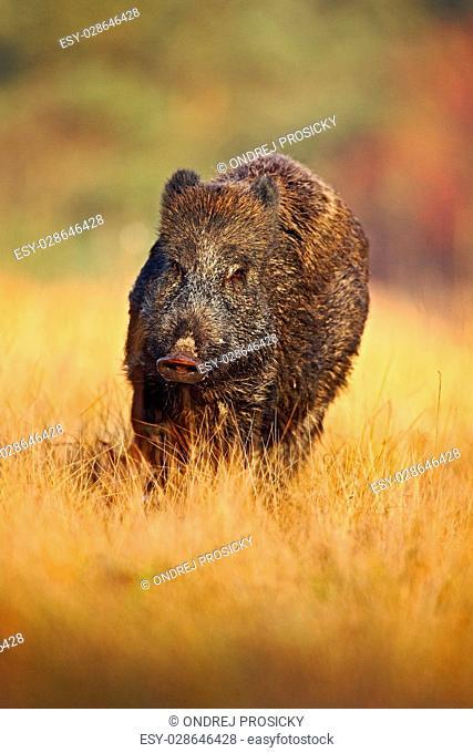 Portrait of big Wild boar, Sus scrofa, running in the grass mead