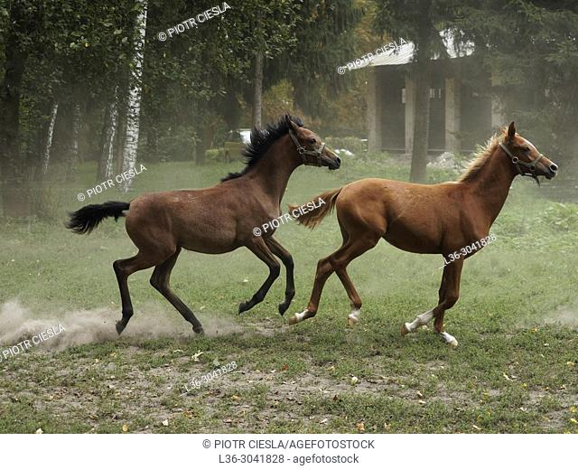 Arabian Horse Stud. Janow Podlaski. Poland