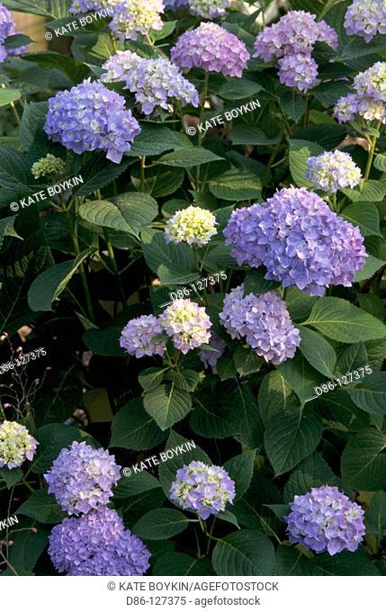 Bigleaf Hydrangeas (Hydrangea macrophylla)