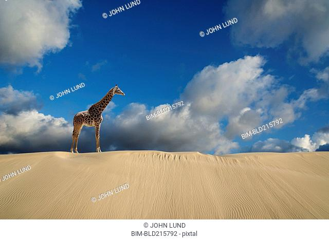 Giraffe walking on desert sand dunes