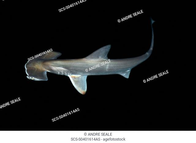 Scalloped hammerhead shark pup, Sphyrna lewini, kept for research, Hawaii Institute of Marine Biology, Kaneohe, Hawaii rr