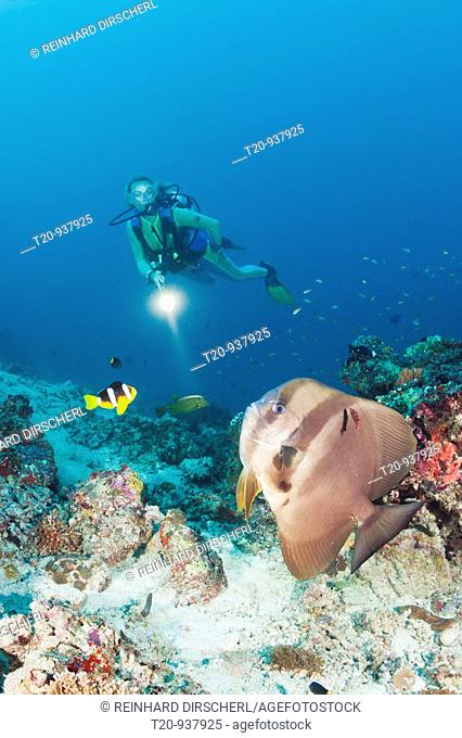 Longfin Batfish and Diver, Platax teira, Maya Thila, North Ari Atoll, Maldives