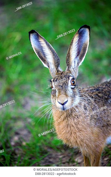 France, Haute Saone, European hare (Lepus capensis)