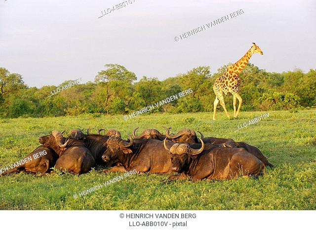 Buffalo Syncerus caffer Herd Sleeping - Giraffe Giraffa camelopardalis in the Background  Sabi Sands Conservancy, Mpumalanga Province, South Africa
