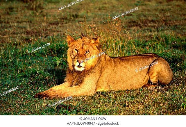 Young Lion lying on grass, Etosha, Namibia