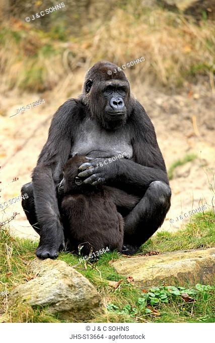 Lowland Gorilla,Gorilla gorilla, Africa, adult female with young