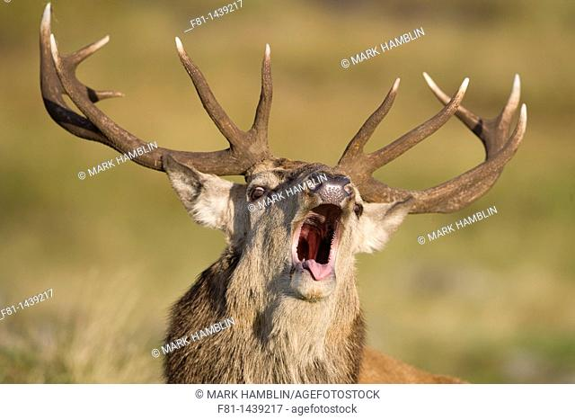 Red deer stag Cervus elaphus roaring during rut, Scotland, October