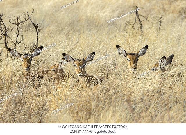 Juvenile Impalas (Aepyceros melampus) laying in the high grass in Samburu National Reserve in Kenya
