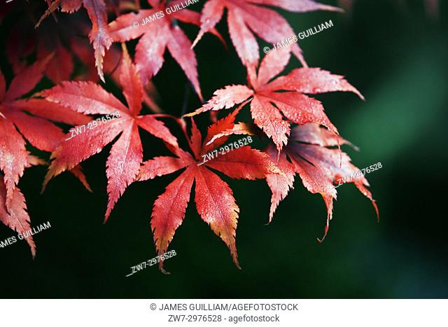 Acer palmatum variety Bloodgood Autumn fall colour
