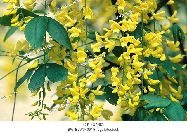 common laburnum Laburnum anagyroides, blooming