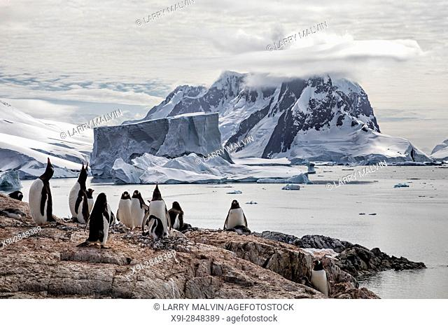 Gentoo penguin colony on a rocky outcropping on Petermann Island with a large iceberg and mountain backdrop along the Antarctic Peninsula