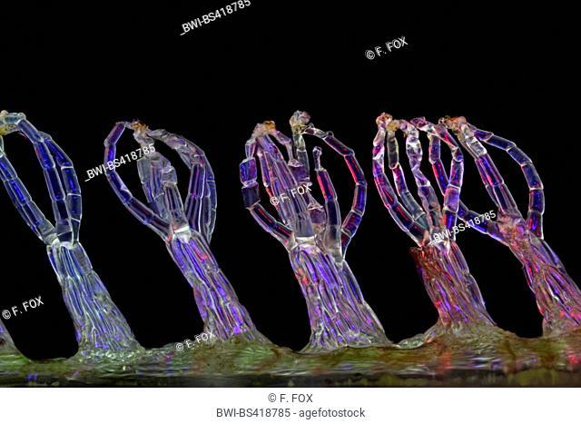 water fern (Salvinia spec.), eggbeater hairs of a water fern, salvinia effect