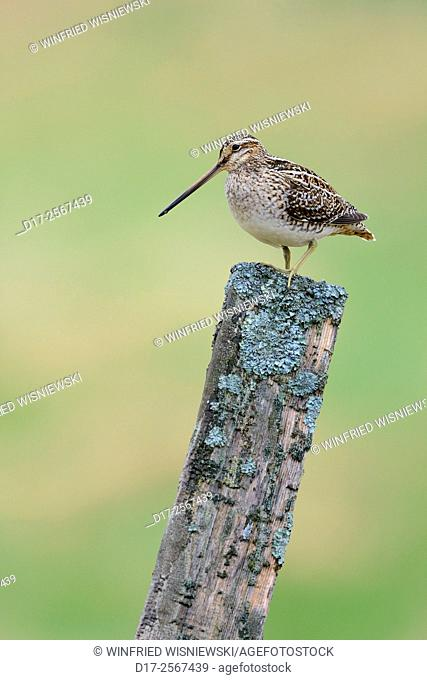 Common snipe (Gallinago gallinago) on a fence post. Iceland