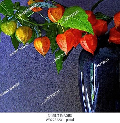 Cape gooseberry fruits with red petals, a branch of Physalis peruviana in a vase