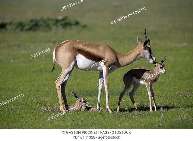 Springbok (Antidorcas marsupialis) - Mother and lamb, Kgalagadi Transfrontier Park in rainy season, Kalahari Desert, South Africa/Botswana
